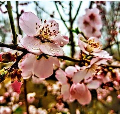Sakura By Yannis Lobaina.JPG