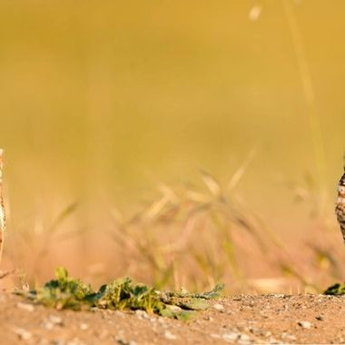 """This a composite photo from two consecutive shots (using Lightroom) because the pair of burrowing owls where standing at a """"social distance"""" during the """"COVID pandemic"""" (LOL!)   The male is standing on the left and the female at the right."""