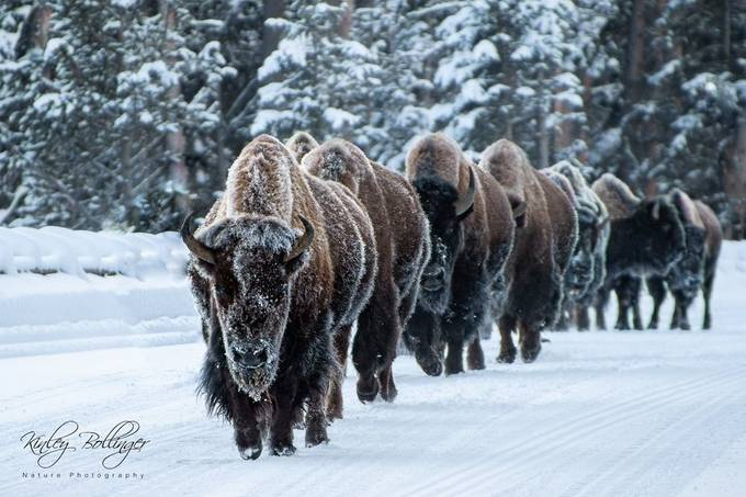 I can't quite describe the immense sense of power that can be felt when a line of bison is heading towards you.  This was taken in Yellowstone National Park during a snow coach tour.