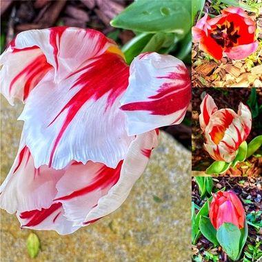 Budding tulips!