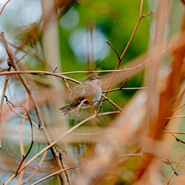 This hummingbird was resting, I had to be patient for this as they were non stop moving