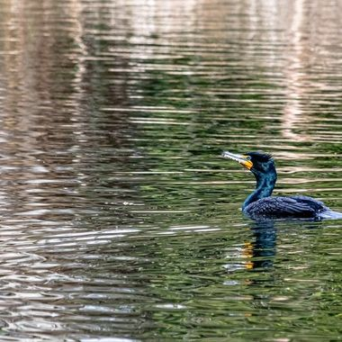 Double-Crested Cormorant, this is a beautiful underwater flyer