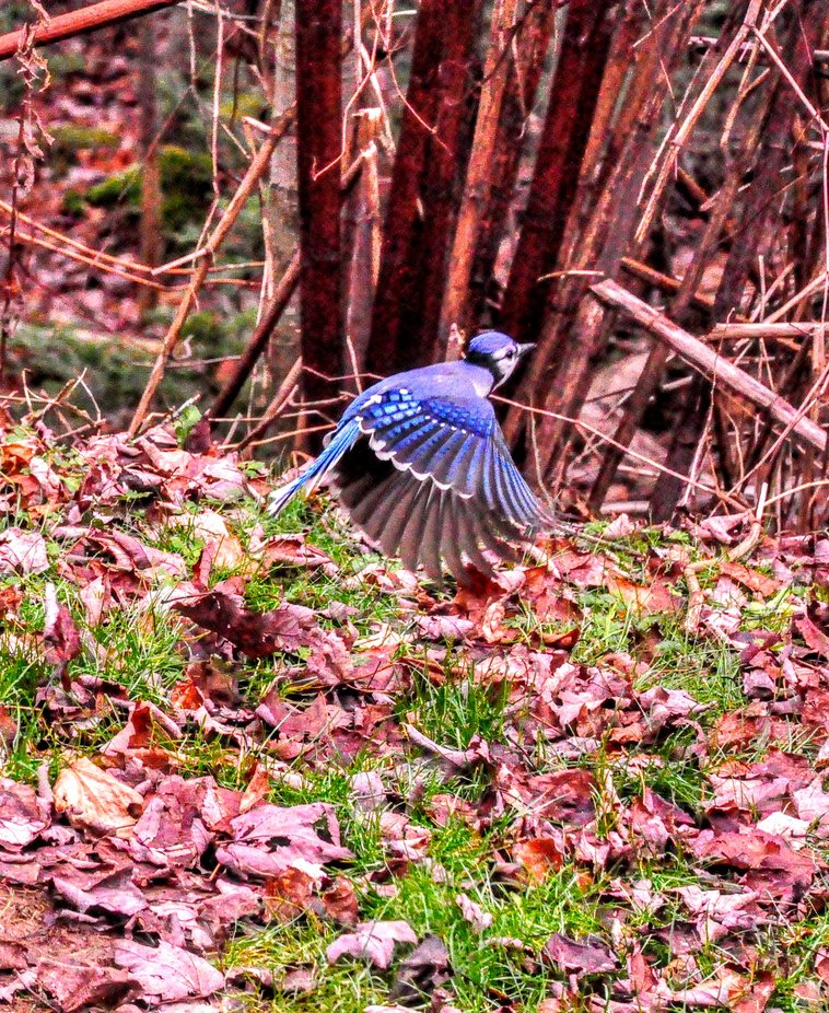 Blue Jay in Nova Scotia.  The first time I saw a Blue Jay very close in my backyard in Nova Scotia. It was a magical day. It's my Totem bird ever since.