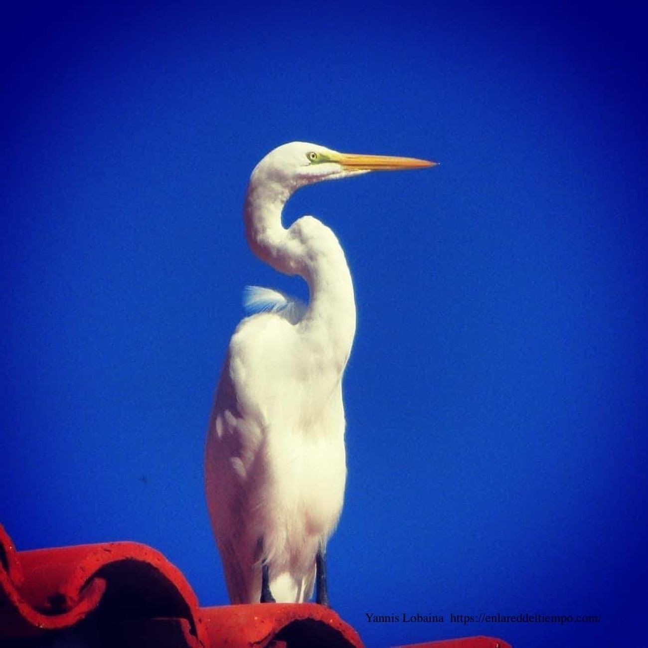 GARZA BLANCA-CUBA_White Heron By Yannis Lobaina .JPG