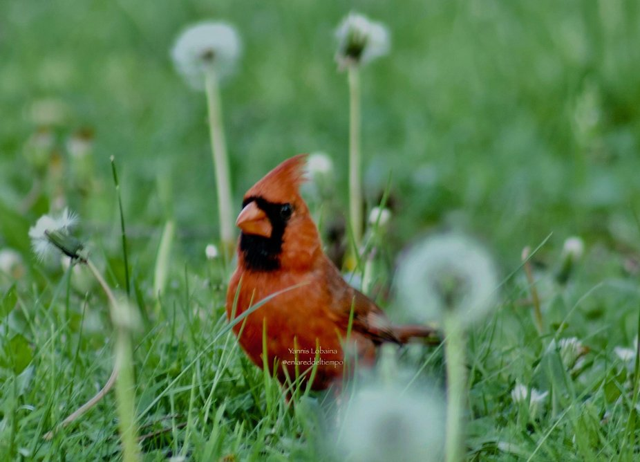 Northern Cardinal  By Yannis Lobaina