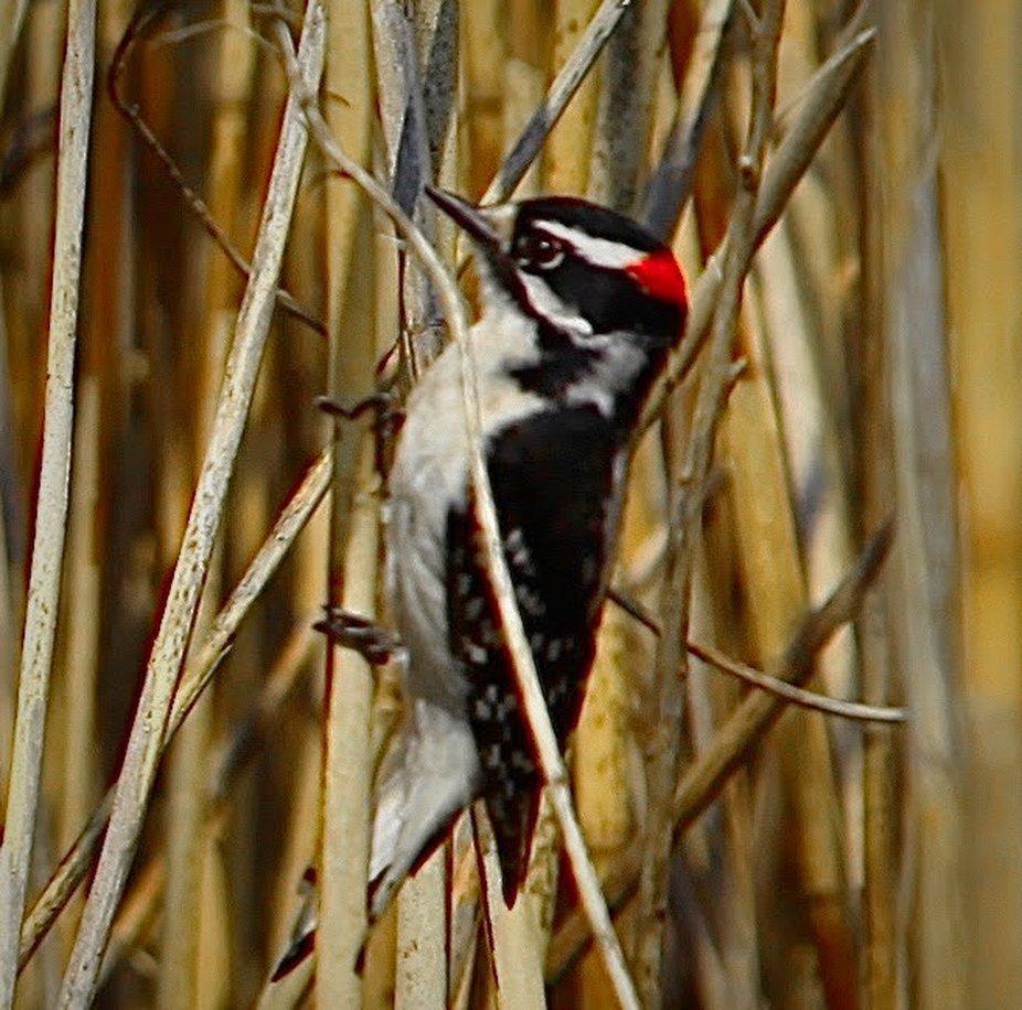 Red hair Woodpecker _2020 By Yannis Lobaina