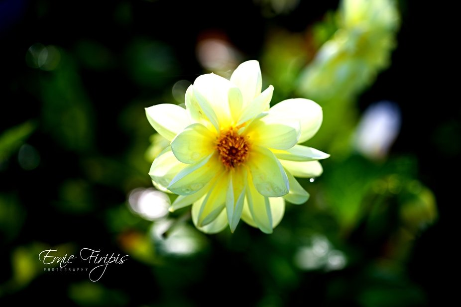 2021.3 Yellow Dahlia Morning Glow Signed