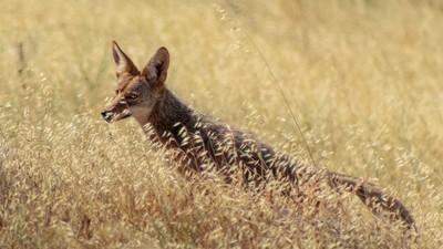 Sly Coyote, Re-edit-Monte Bello Summer 2020