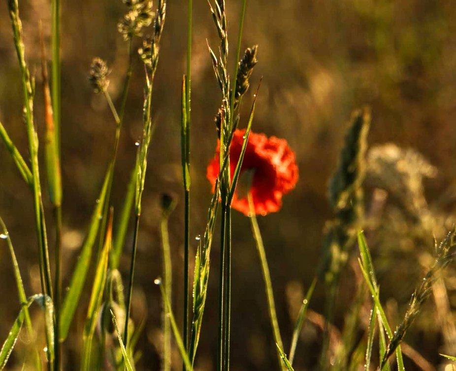 Poppy in the grass