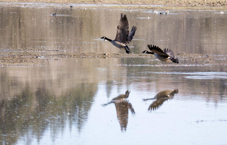A pair of geese taking off from a local pond with their reflections in the water.