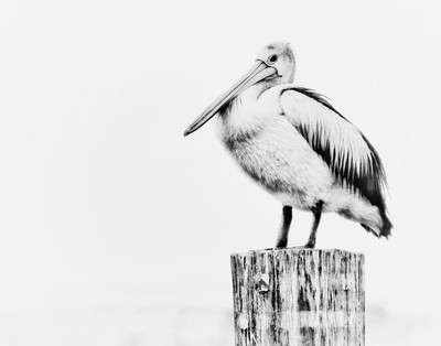 Etched pelican