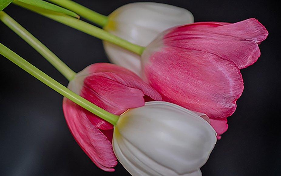 Tulips-351