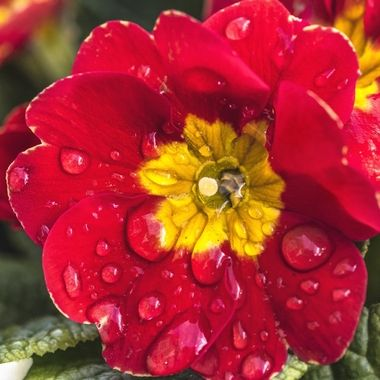 A colourful Pansy after rain
