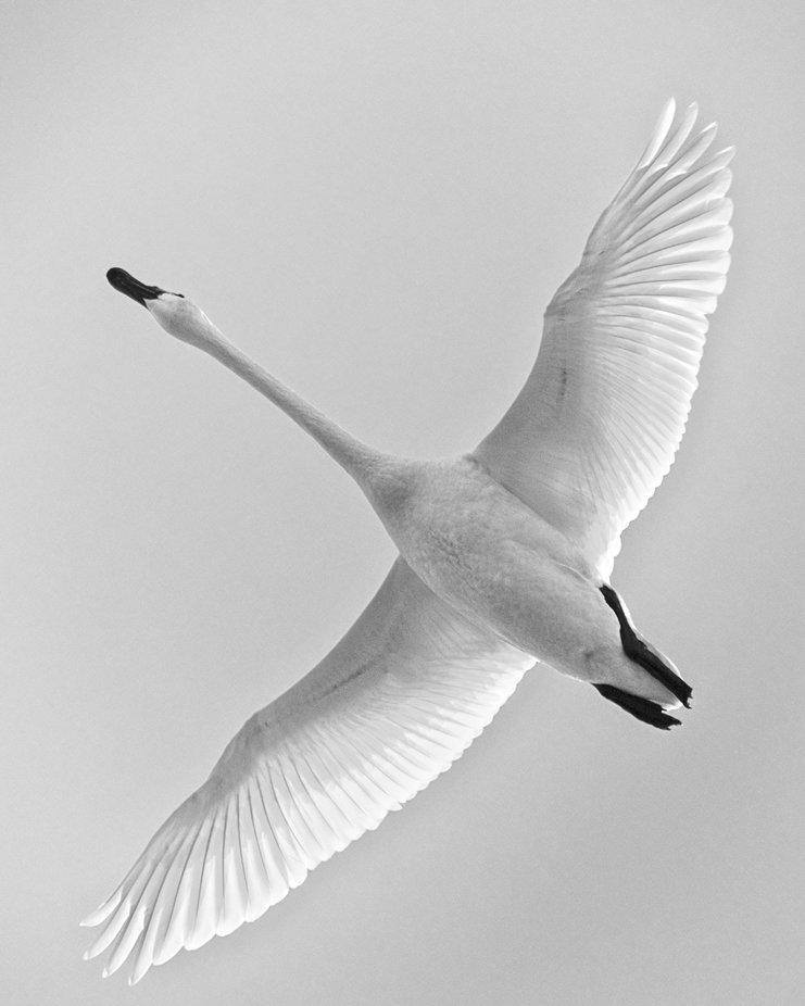 Trumpeter Swan in the Skagit Valley of Washington. They spend the winter in the valley and then migrate north in the springtime.