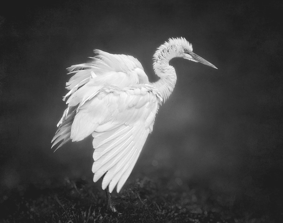 A Great Egret is ready to launch when I got too close...