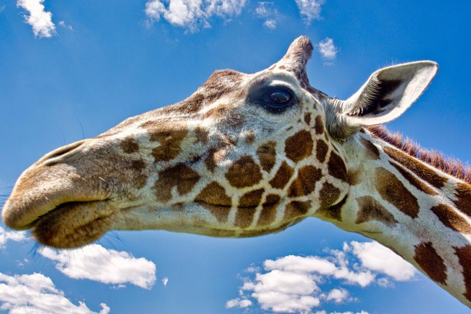 giraffe1color