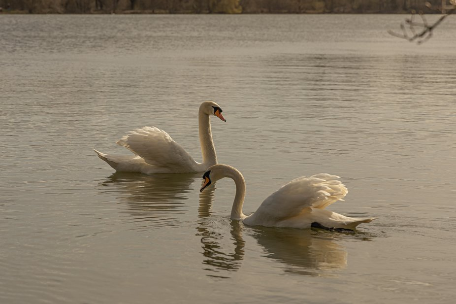 Pairing up and building nests, these two were happy to keep swanning past
