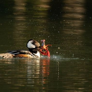 I was surprised to see one pair of the Hooded Mergansers left at our park.  I was further surprised when I was leaving the park walking by this big pond (we called it Baldwin Lake) and saw this male caught a huge crayfish (for merganser standard).  The late afternoon sunlight really popped the color of the crayfish for me to capture the whole sequence of how the merganser broke the claws and legs off the crayfish before gulping it down.  What a nice dinner!