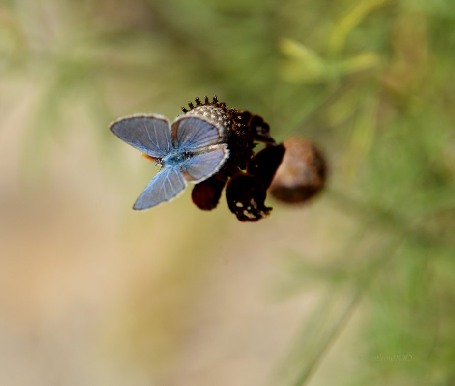 Hemiargus ceraunus   A pretty blue butterfly perched on the remains of a Mexican hat flower.  Thi...