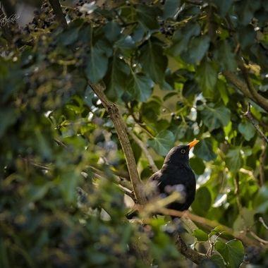Blackbird in the ivy bush