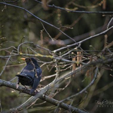 Blackbird in mating mood...