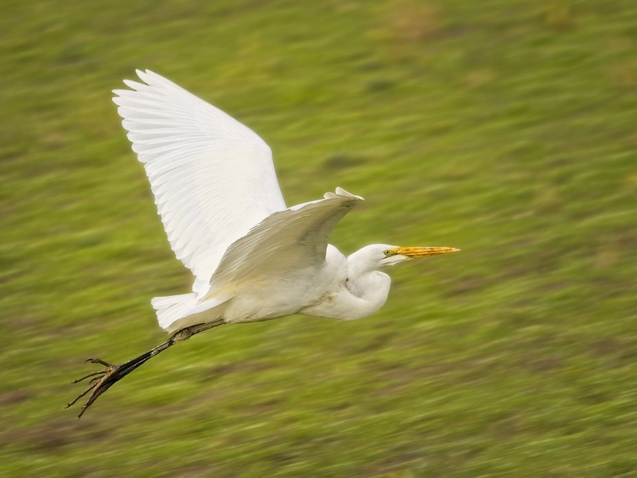 An egret in the Skagit Valley of Washington flying over the farms of the valley.