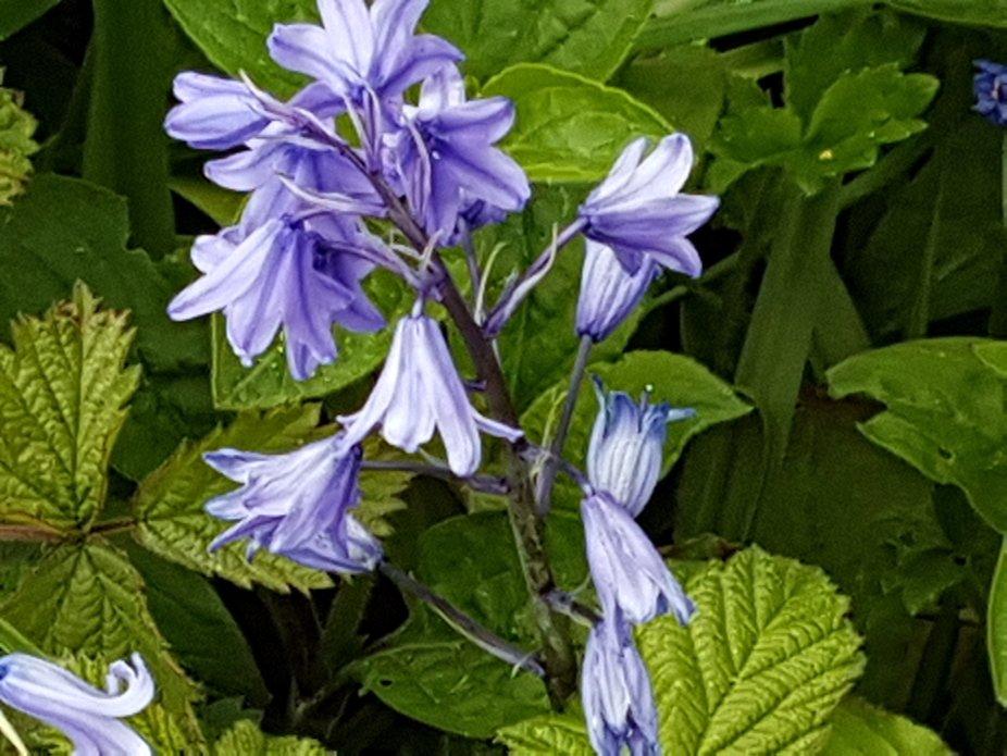 Spring flower colour blue leaves green Macro
