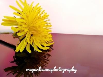 Dandelion reflections