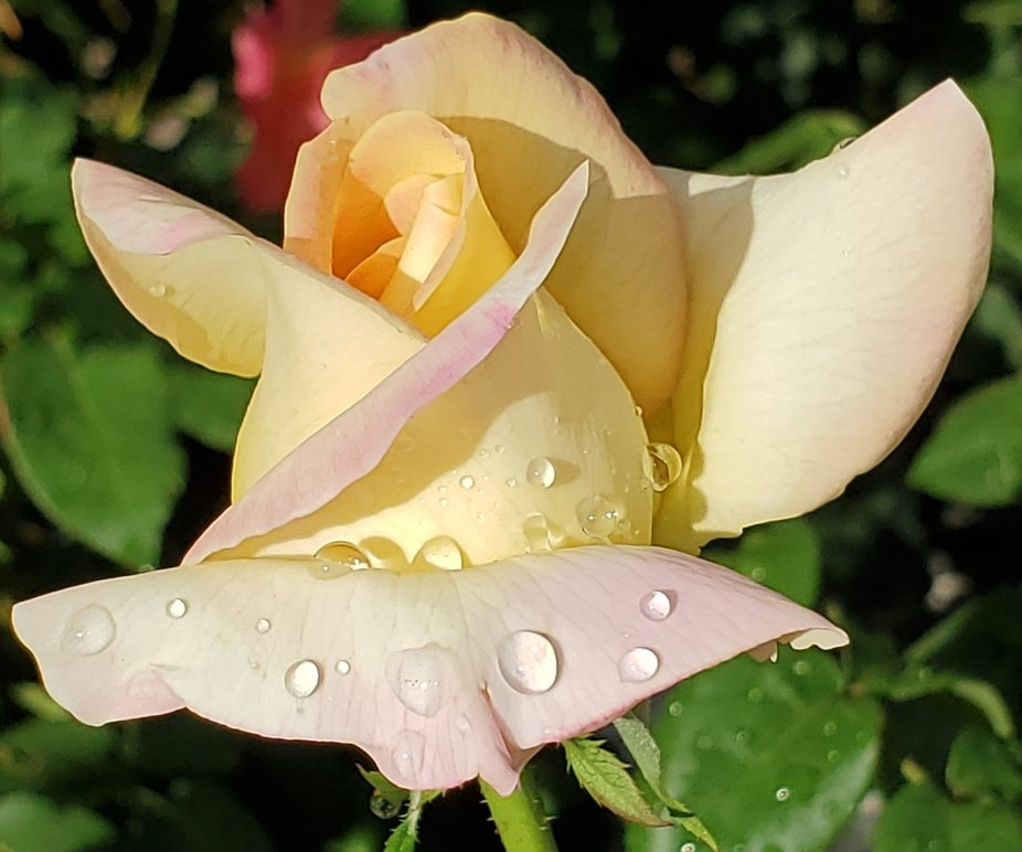 Yellow Rose 2021