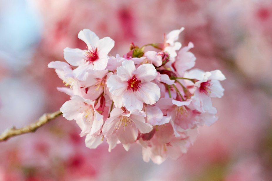 On a gorgeous California spring day, a lovely cherry tree is in bloom providing pink, fragrant bl...