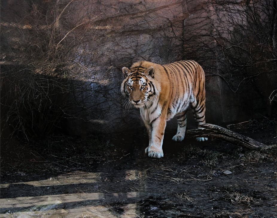A Tiger at the Erie zoo .