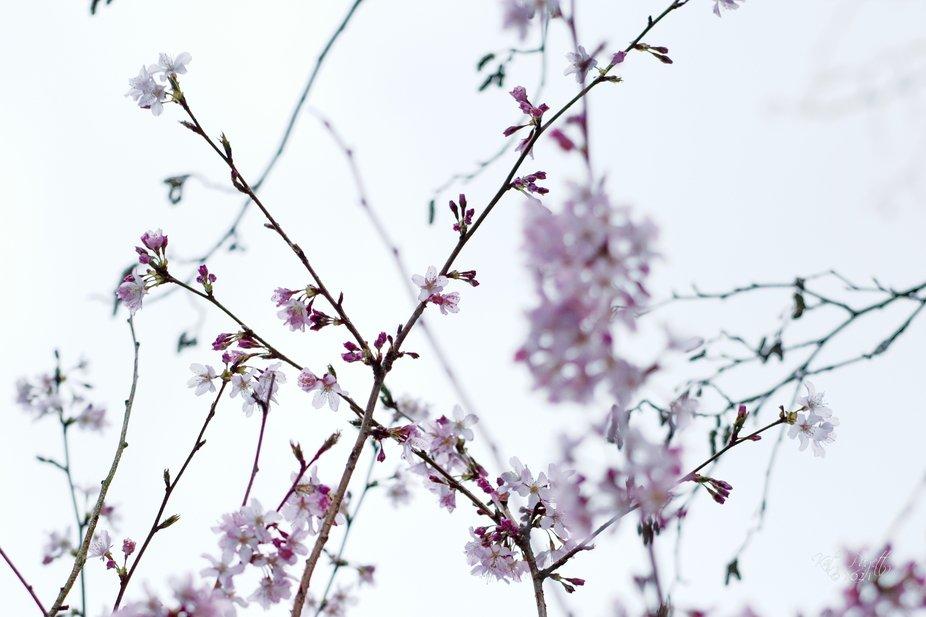 Cherry Blossoms 17