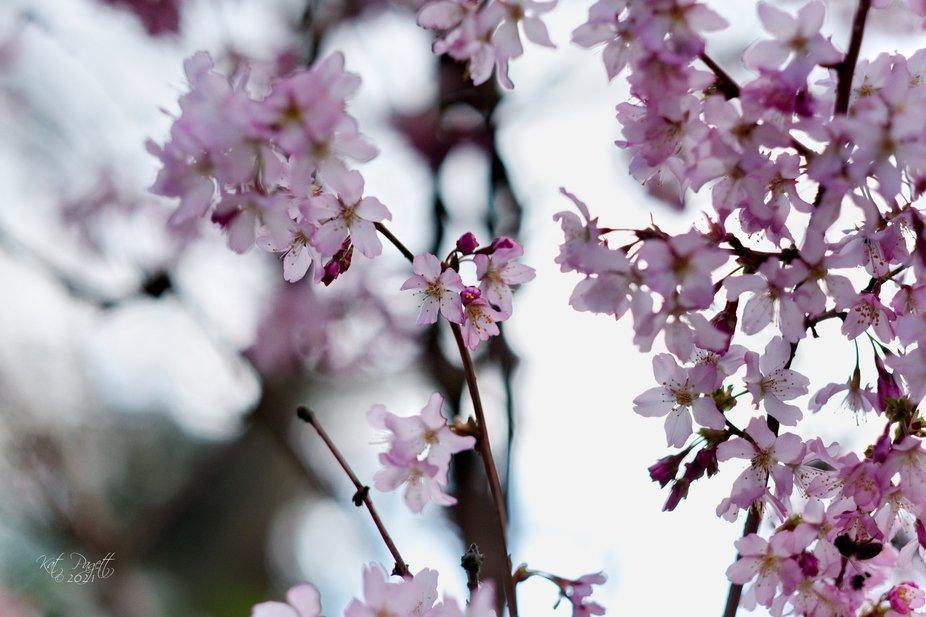 Cherry Blossoms 27