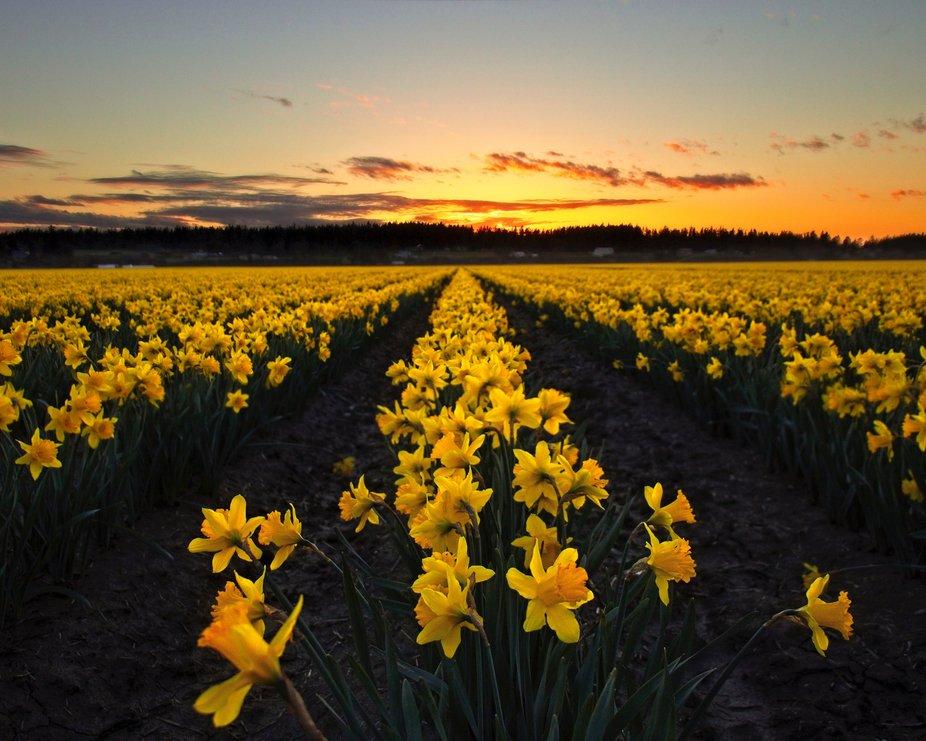 Daffodils Begin Springtime...