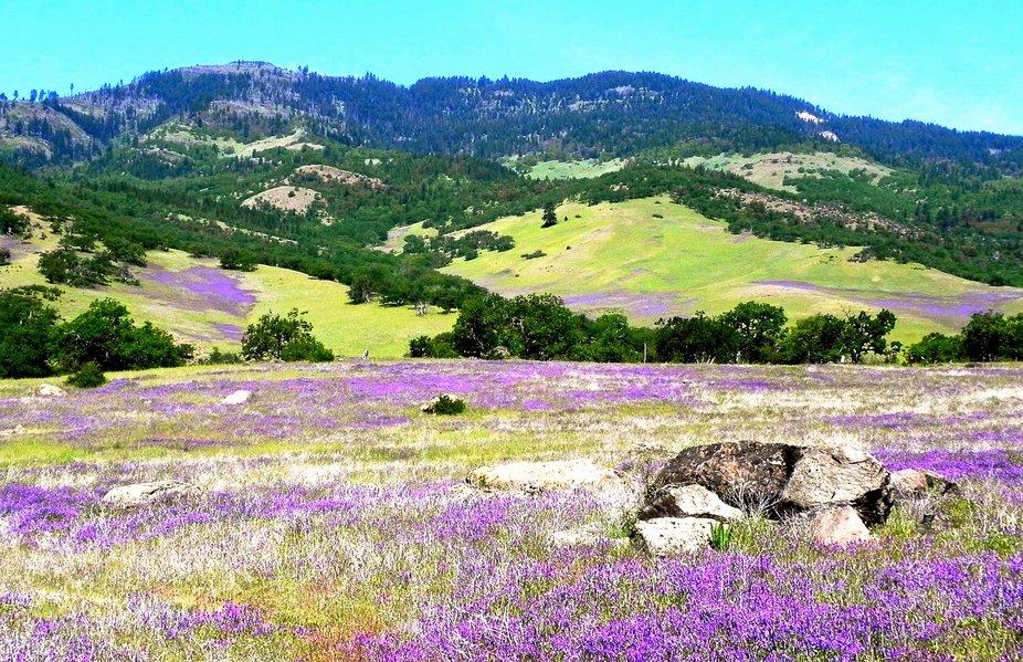Spring Is In The Air - Vetch fields of blooms