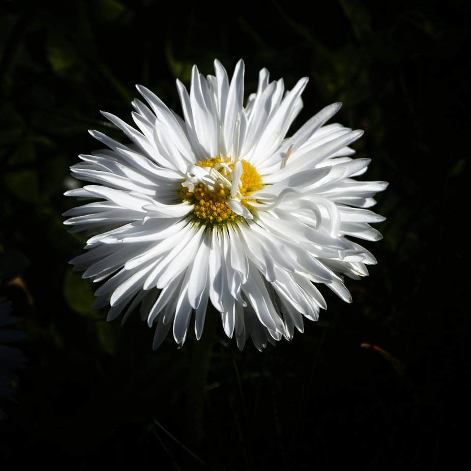 A small flower that grows in our grass.
