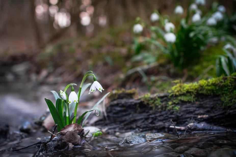spring snowflake at a stream