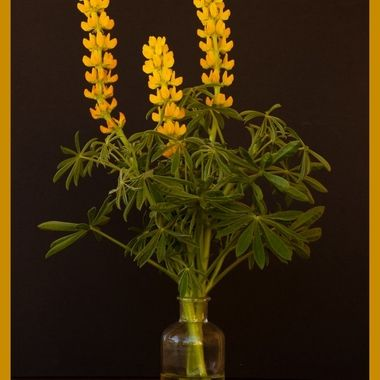Yellow Lupine from the field