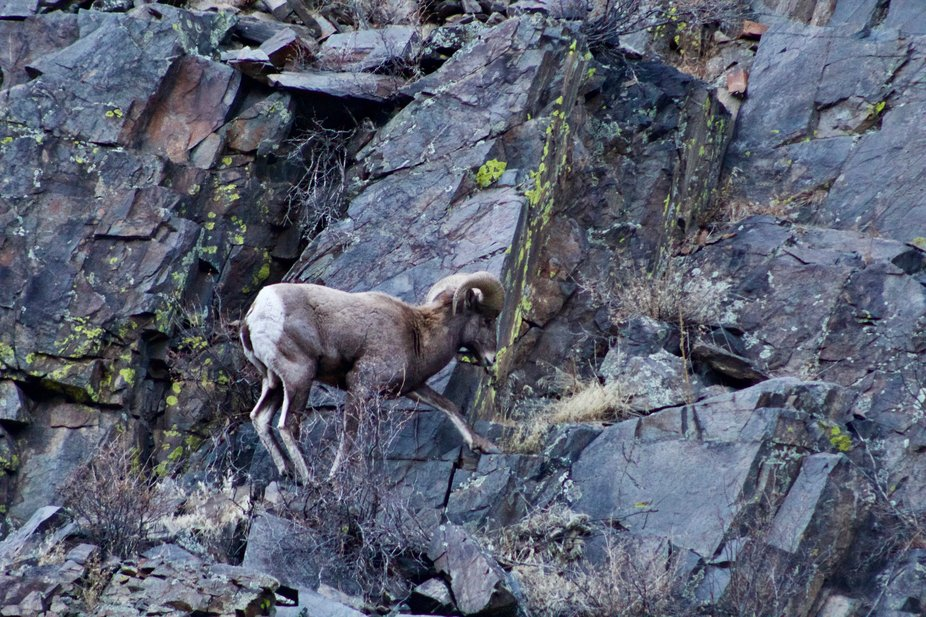 A big horn sheep in the Colorado Rocky Mountain National Park.