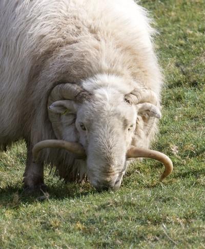 Grazing Ram