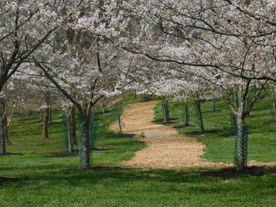 A Path Through the Weeping Cherry Trees
