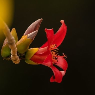 Bombacaceae from Kapok tree  DSC00038-