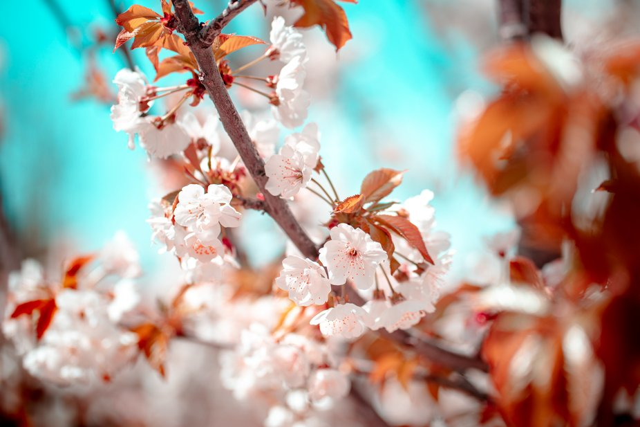Blossom Dream