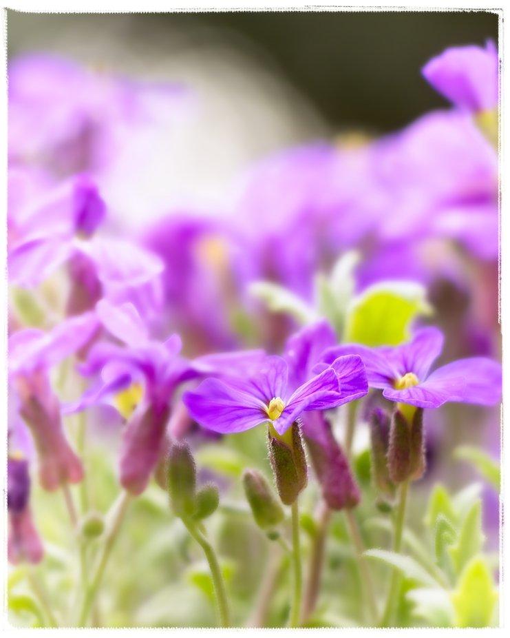 Little purple flowers in all their glory on a rockery.