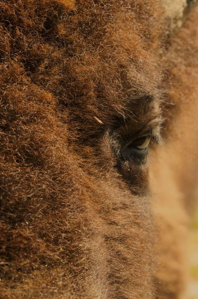 Buffalo Eye_HDR1758