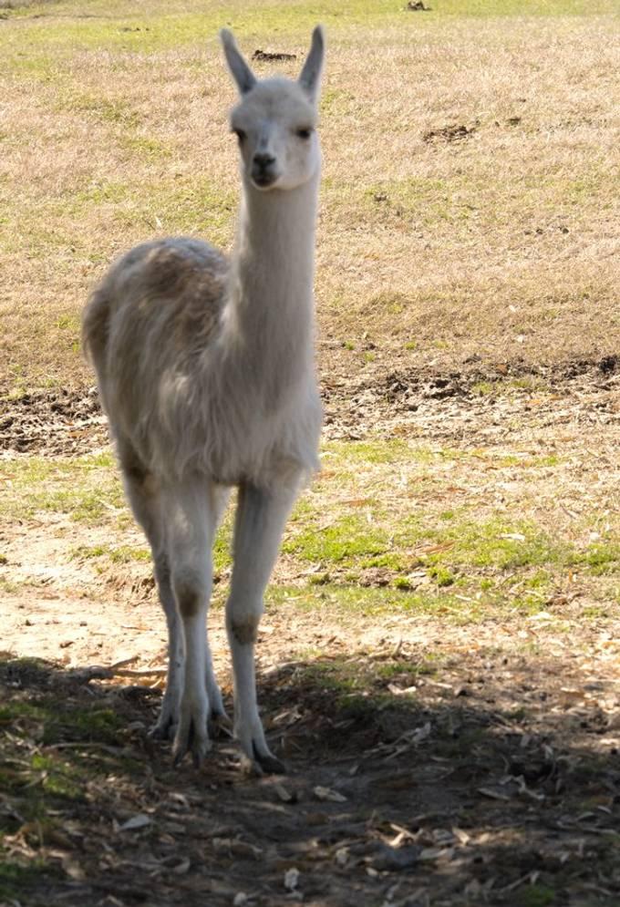Llama_HDR1742