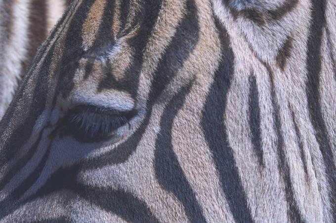 Zebra Eye_HDR1718