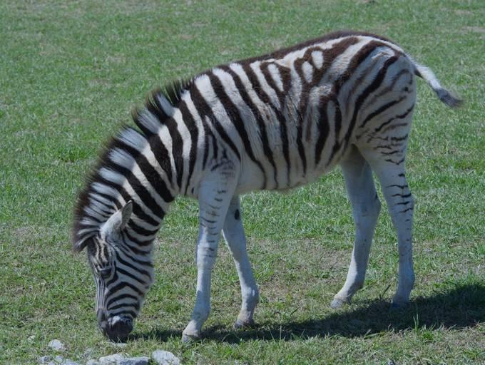 Zebra_HDR1712