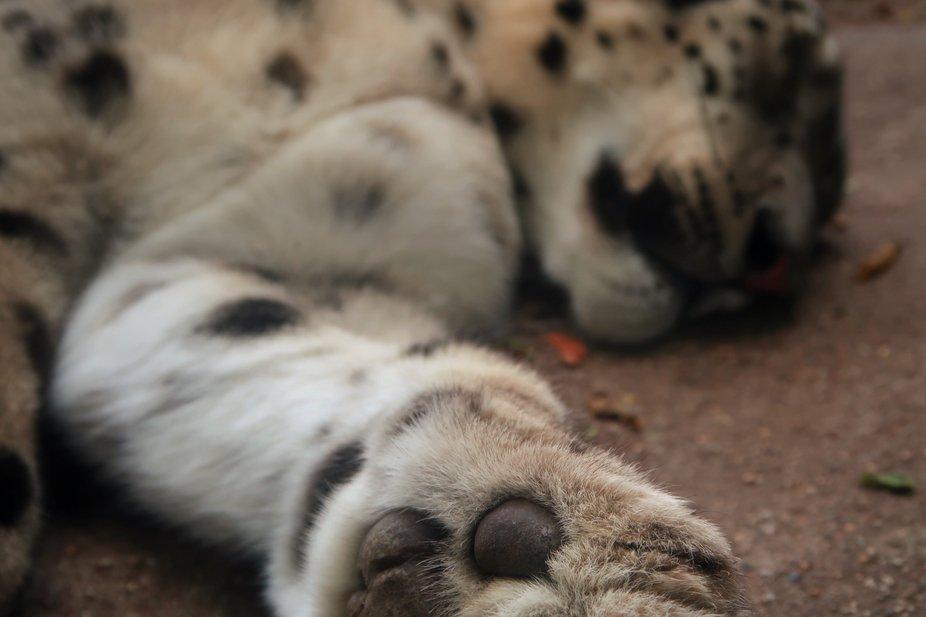 Snow Leopard Slumber