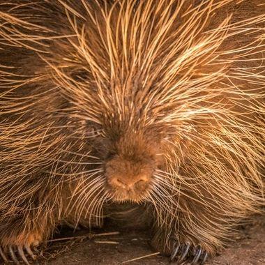 Porky the Porcupine